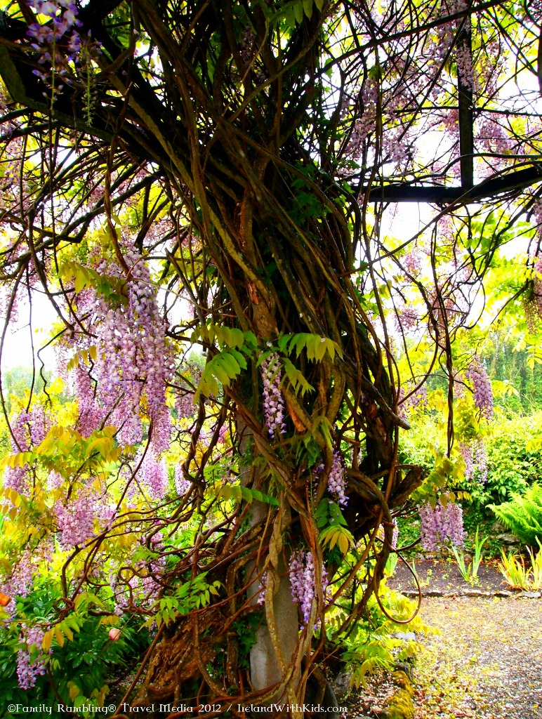 Flowering Wisteria Tree, Birr Castle Demense, Ireland