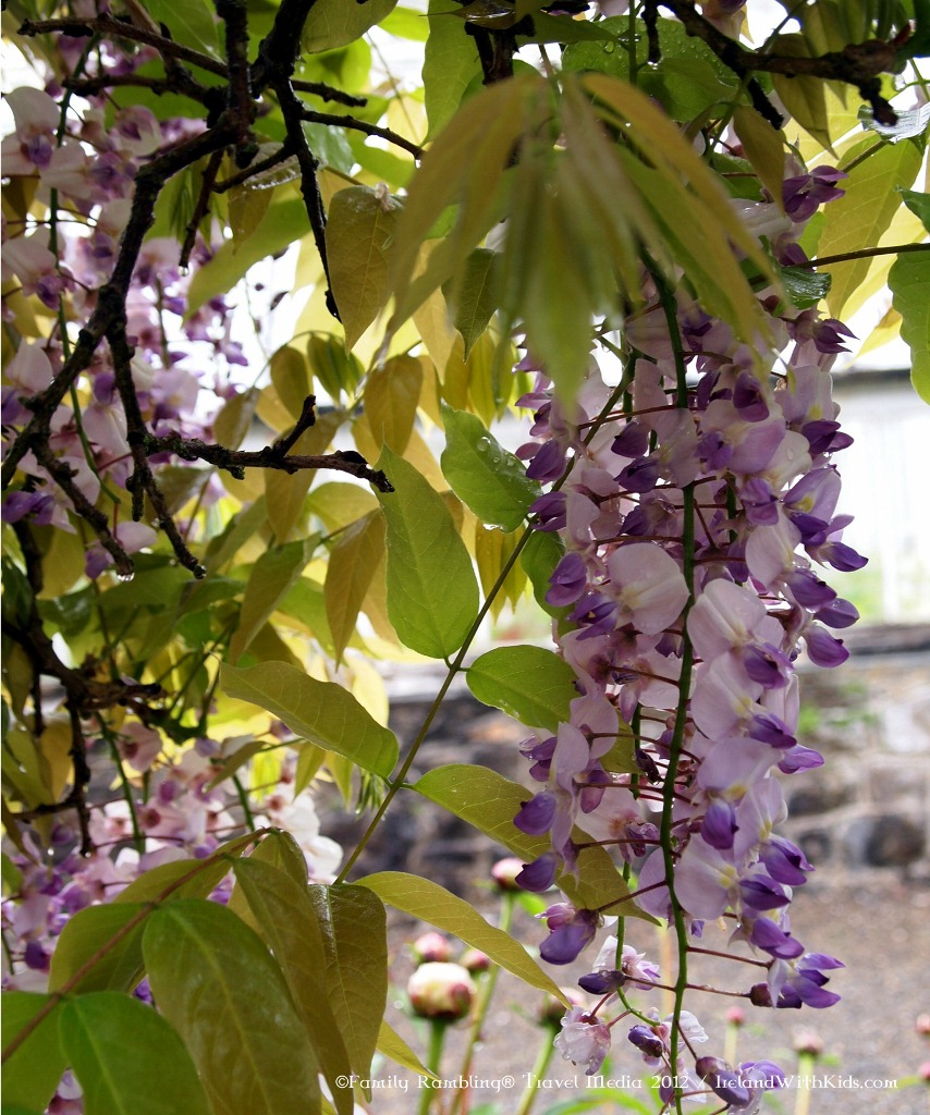 Blooming Wisteria at Birr Castle Demense in Ireland