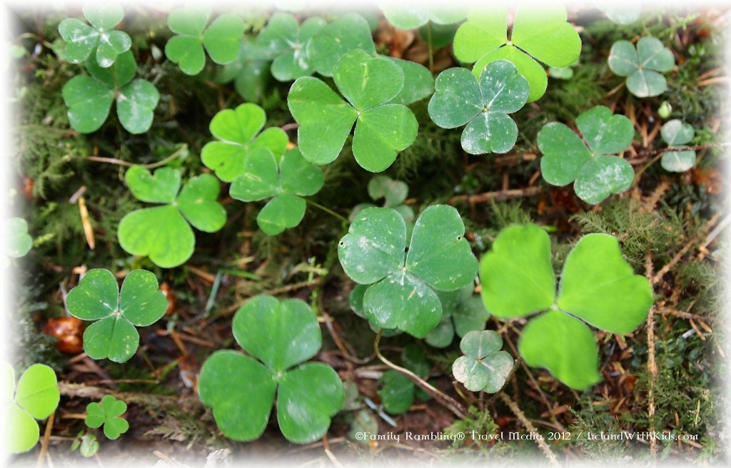 Shamrocks in Ireland