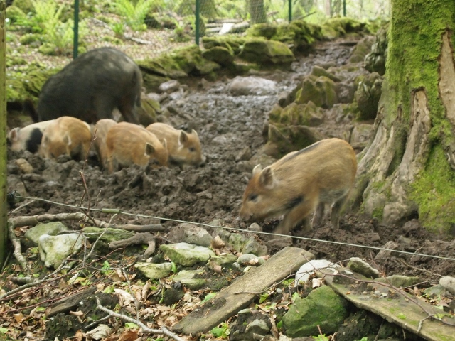 Wild Boar and piglets at Craggaunowen