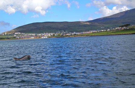 2 Fun Ways to Meet Fungi, the Famous Dingle Dolphin