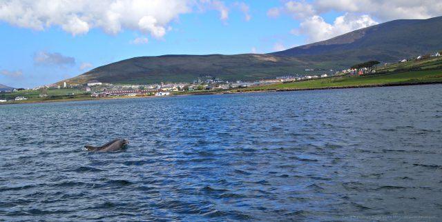 Fungi the Dingle Dolphin in Dingle Harbour, Ireland