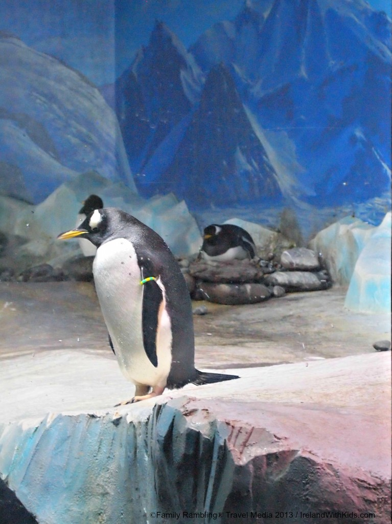 Gentoo penguins at Oceanworld Aquarium, Dingle, Ireland