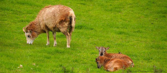Soay Sheep at Craggaunowen, County Clare, Ireland
