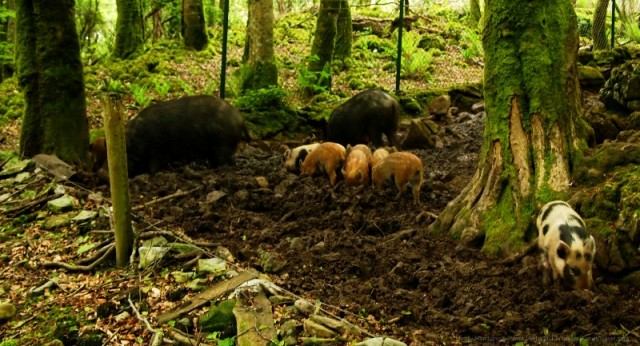 Wild Boar at Craggaunowen, County Clare, Ireland