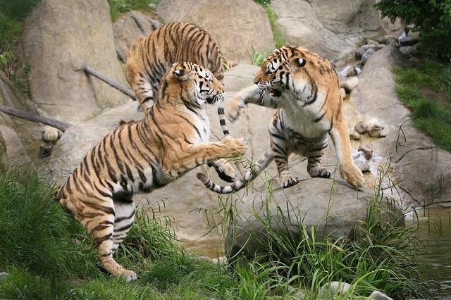 Tigers playing at Dublin Zoo