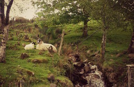 Irish Sheep on Inishowen