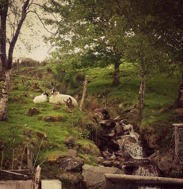 Irish Sheep, Inishowen Peninsula