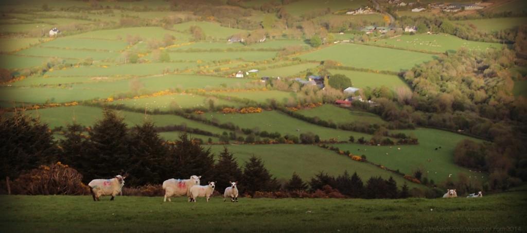 sheep on a hillside in Ireland
