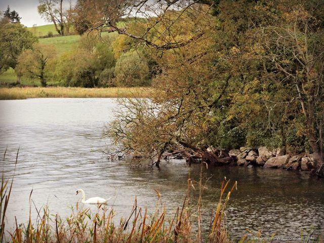 Swan in Lough Gur, County Limerick, Ireland