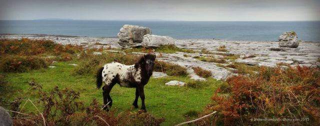 The Burren, in County Clare, is filled with surprises. Like this colt, its fuzzy winter coat keeping it warm as chilly fall winds blow in from the Atlantic. Ireland Vacation