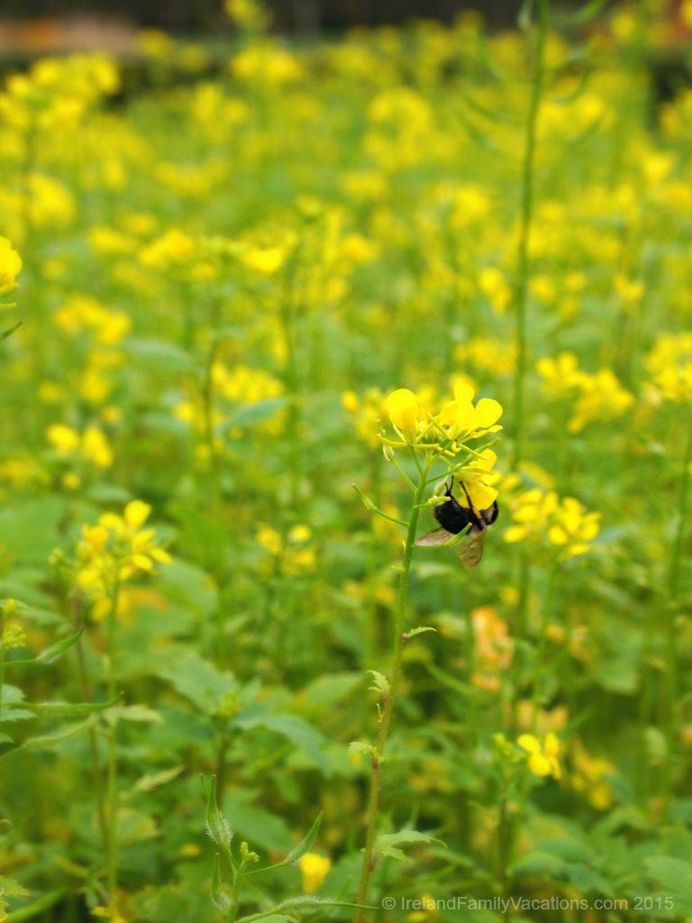 An Irish Harvest (Busy as a Bee)