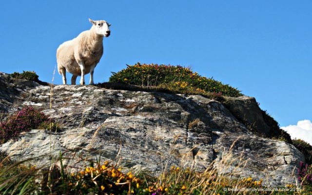 Sheep on Sheep's Head Peninsula, County Cork. Ireland vacation tips.