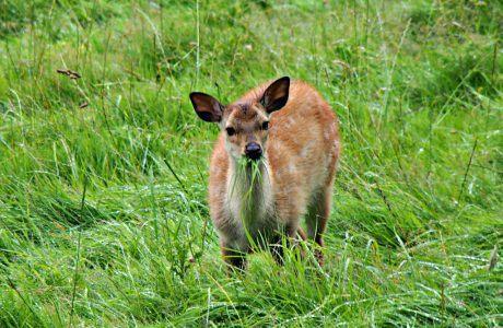 Curious Deer at Glendalough