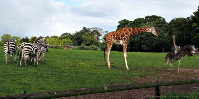 Open and natural animal enclosure at Fota Wildlife Park. Ireland travel tips | Ireland vacation |IrelandFamilyVacations.com