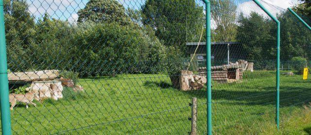 Cheetah Run at Fota Wildlife Park. Ireland travel tips | Ireland vacation |IrelandFamilyVacations.com