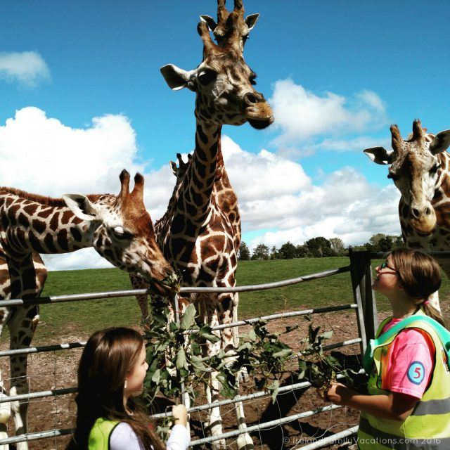 Feeding giraffes at Fota Wildlife Park. Ireland travel tips | Ireland vacation |IrelandFamilyVacations.com