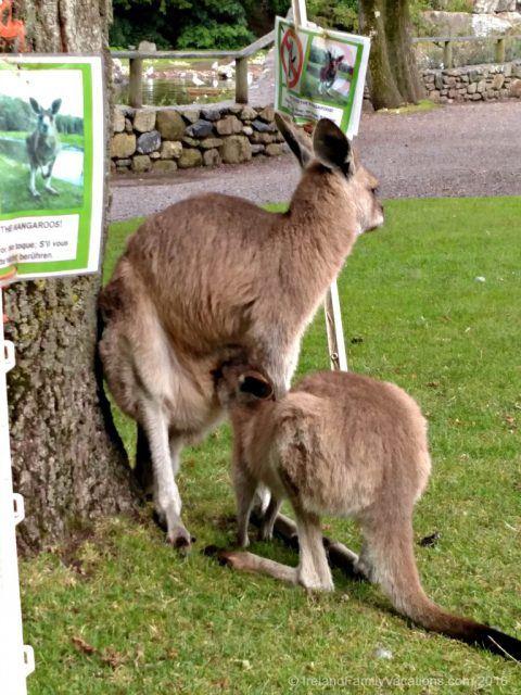 Don't pet the kangaroo while it's eating! Ireland travel tips | Ireland vacation |IrelandFamilyVacations.com