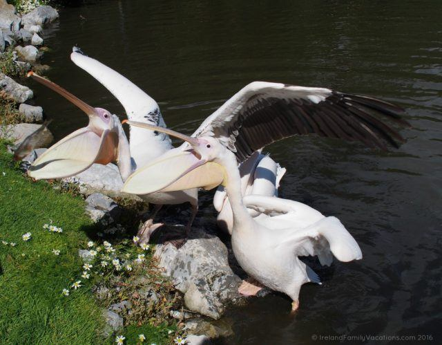 Feeding pelicans at Fota Wildlife Park. Ireland travel tips | Ireland vacation |IrelandFamilyVacations.com