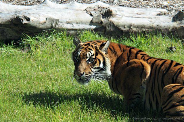 Tiger at Fota Wildlife Park, County Cork. Ireland travel tips | Ireland vacation |IrelandFamilyVacations.com