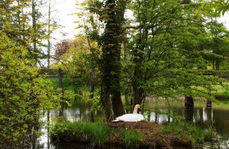 Serene Swan in St. Fiachra's Garden