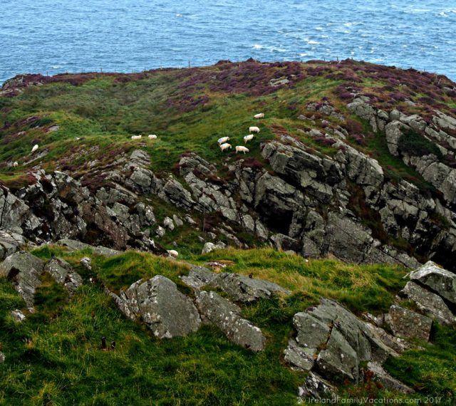 Sheep atop Torr Head along Northern Ireland's Causeway Coastal Route. Ireland travel tips | Ireland vacation | IrelandFamilyVacations.com