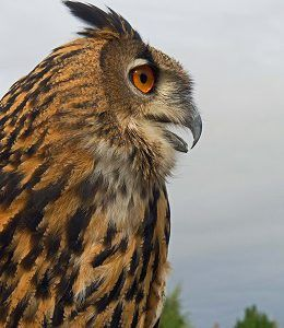 Meet Oscar during a Falconry Experience with Adare Country Pursuits