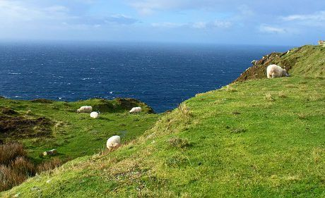 Sheep on the Slieve League Cliffs in County Donegal