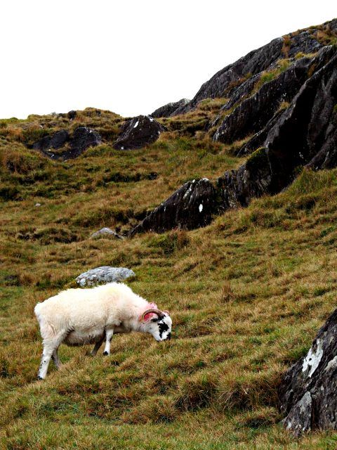 sheep near Healy Pass, County Cork, Ireland