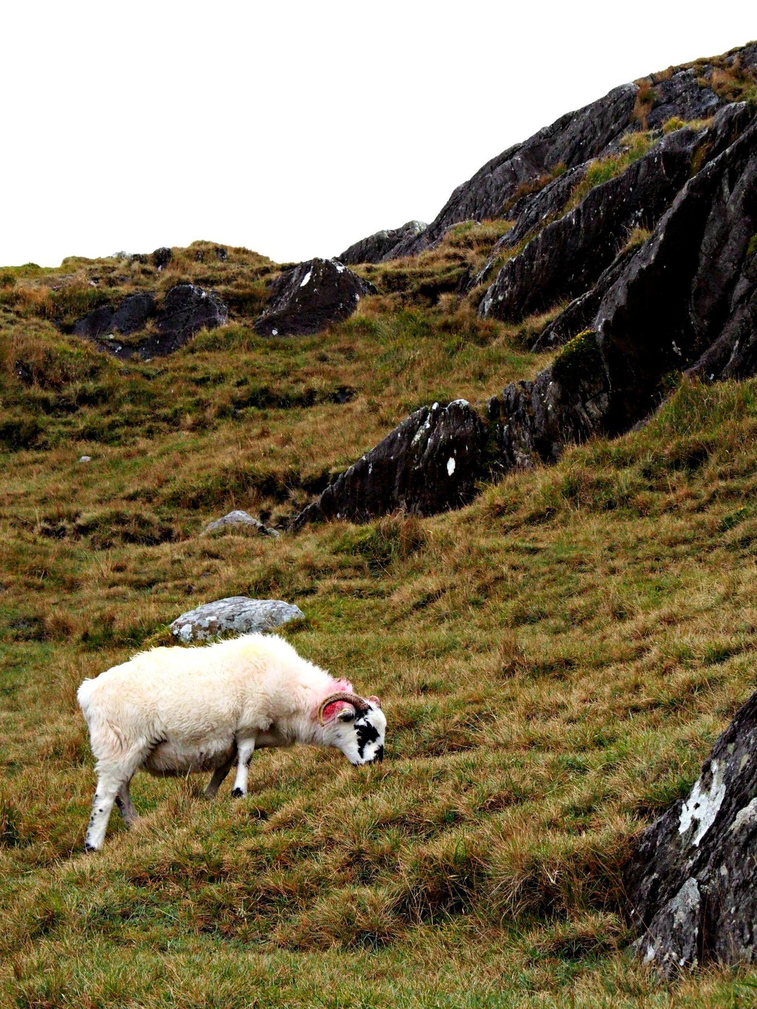 Sheep along Healy Pass, County Cork