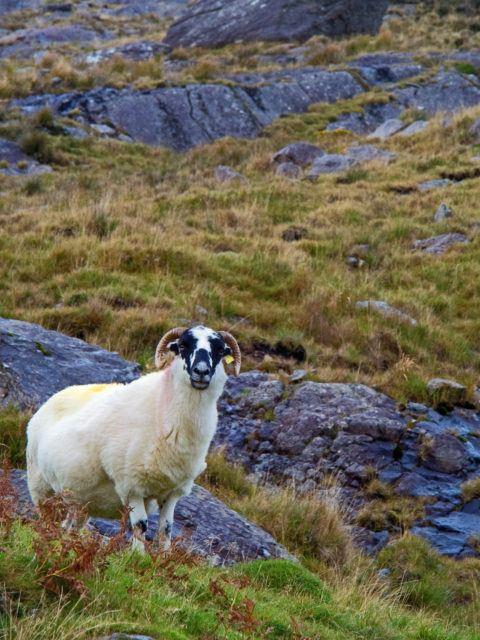 Sheep on Healy Pass, Ireland